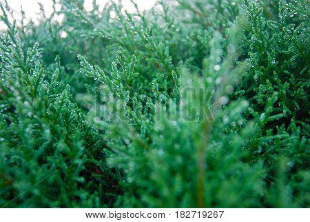 The Green Arborvitae