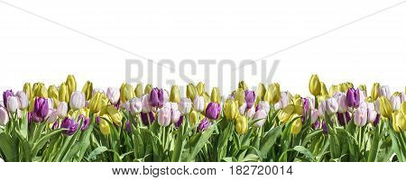 isolated yellow, white and pink Tulip white background white space greeting textspace may flowers spring Happy Eastern