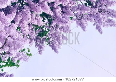 Spring pink lilac flowers - flower spring background with free space for text. Pastel and soft focus processi Spring landscape with spring lilac flowers -spring background with spring blooming lilac flowers