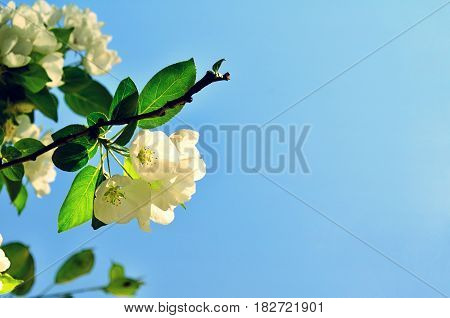 Spring branch with white blooming apple spring flowers against the sky - spring landscape with apple spring flowers. Soft focus at the flowers. Spring flower background with spring flowers of spring apple tree