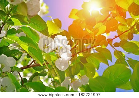 Spring background -white apple blooming spring flowers under sunshine. Spring flowers background. Soft filter applied. Spring flowers of spring apple tree in the spring garden. Spring landscape