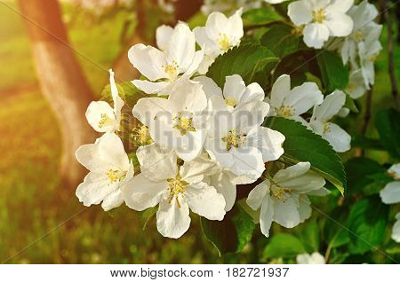 Spring apple flowers in blossom - spring flower background. Apple tree branch with spring apple flowers in the spring garden. Closeup of apple spring flowers. Spring flowers of blooming apple tree