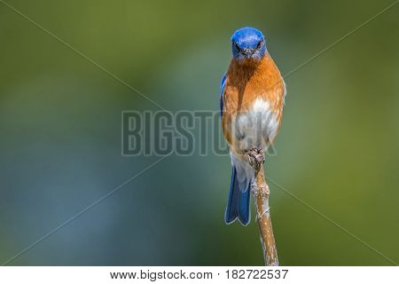 An Eastern Bluebird on a stick giving me the evil eye
