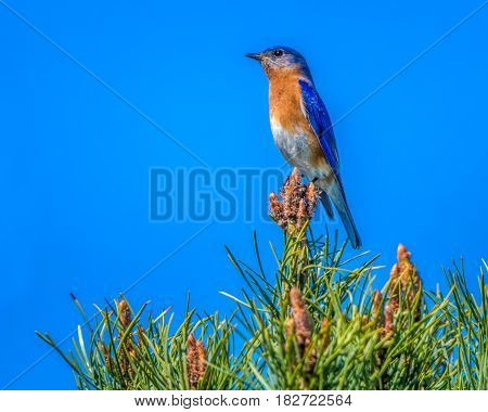 Eastern Bluebird on a pine tree catching some rays