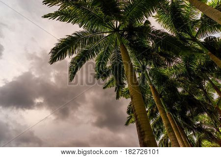Coconut trees on dark stormy backgournd