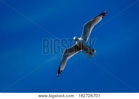 A Ringed- billed Seagull seagull billed seagull