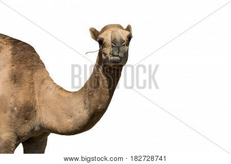 funny looking smiling camel isolated on a white background from Oman