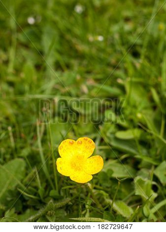 A Single Isolated Yellow Buttercup its petals open on the grass in the spring light and heat of day