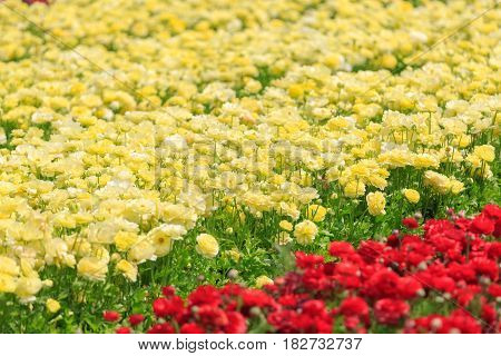 Light Yellow Asian Buttercups