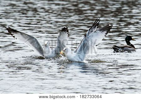 Seagull about to fly out of a lake with some bread in its beak