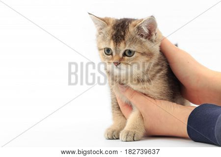 Little Cute Kitten Striped In The Hands Of A Man On A White Background