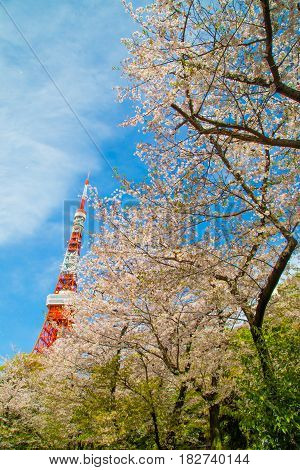 Tokyo Red Tower With Pink Cherry Blossom Blooming Time