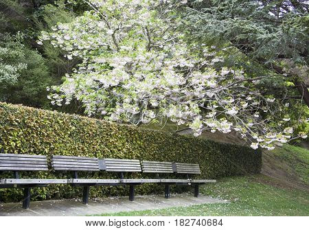 The row of benches under the blooming tree in Wellington Botanic Garden (New Zealand).