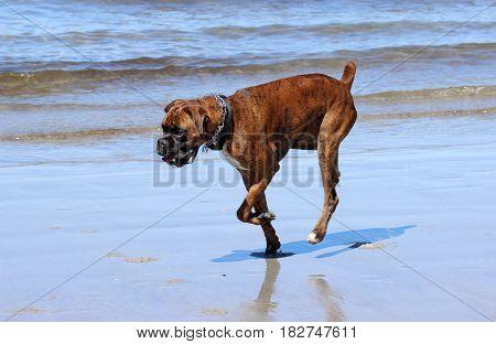 A boxer dog enjoying a run on the beach.