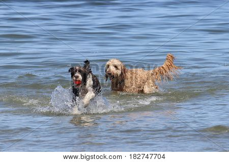 Two dogs playing with a ball in the ocean.
