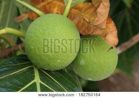 Bread fruit Bread fruit is one of the staple foods in a lot Micronesian islands.