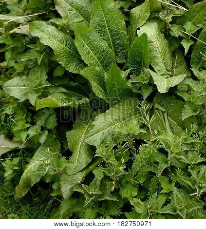 Stinging nettles and dock leaves in medicinal association