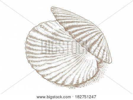 Drawing of isolated opened white scallop on the white