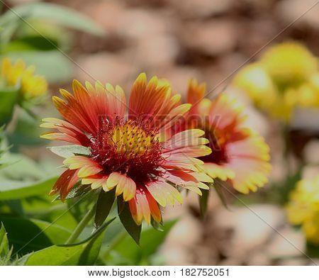Perenial Gaillardia (Blanket flower) reddish and purplish perennial wild flower also called blanket flower