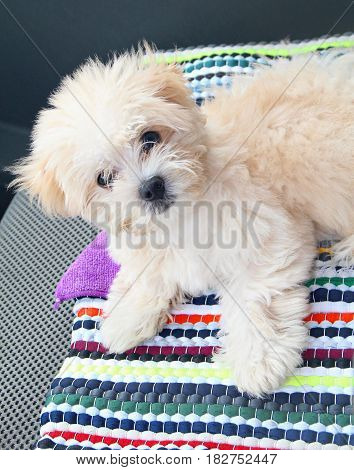 maltese puppy An adorable Maltese puppy in a colored mat