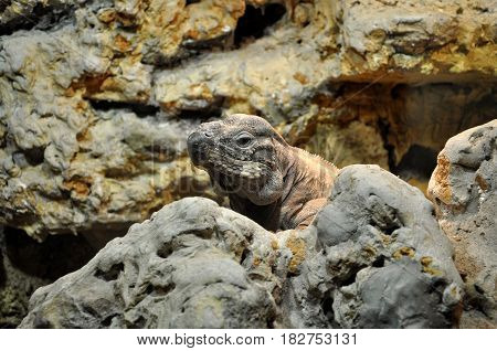 Animal close-up photography. Iguana hiding in stone.