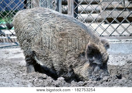 Animal close-up photography. Boar hands in the mud.