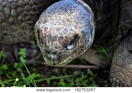 Animal close-up photography. Giant tortoise eats grass.