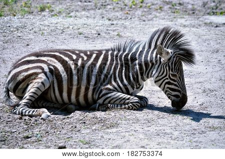 Zebra sleeping and heated in the sun.