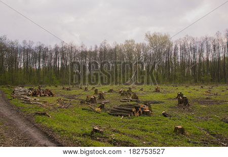Cut pine trees on the side of wood, natural forest disaster.