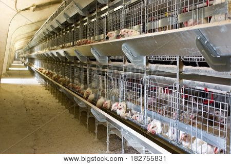 Young broiler chickens at the poultry farm