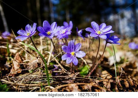 First fresh blue violets in the forest. Blue spring wildflowers liverwort Hepatica nobilis.