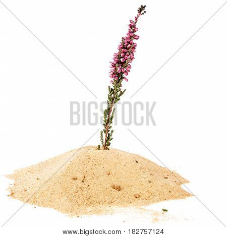 Pile of yellow sand and common heather twig isolated on white background