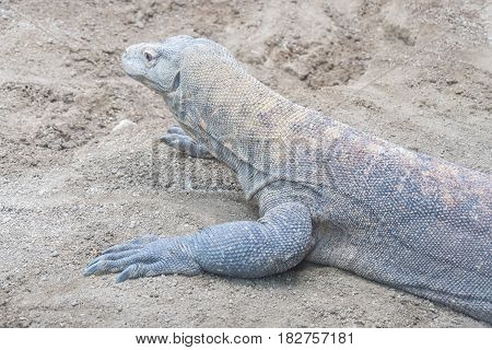 Komodo dragon resting on the sand, staying quite