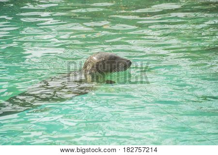 Seal in water with head protruding under the sun