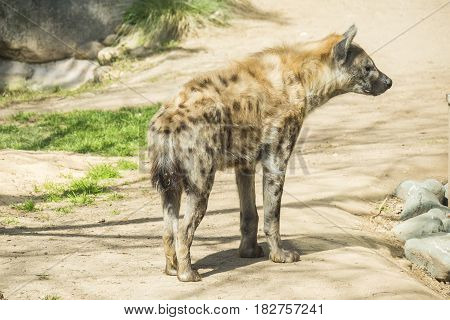 One Spotted hyaena staring at something,under the sun