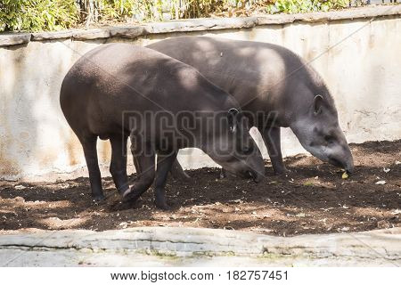 Two brazillian tapir looking for food on earth