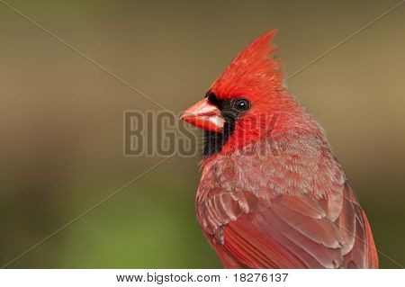 Northern Cardinal Portrait