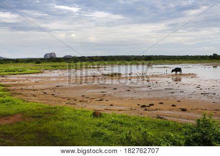 Wild asian buffalo grazing in Yala national park, SriLanka