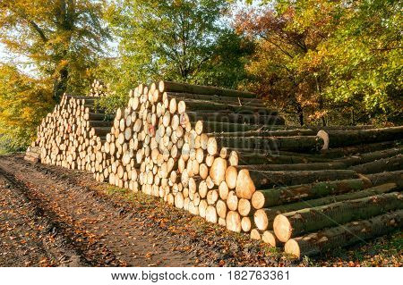 Forest with chopped tree logs on a woodpile for the forestry industry