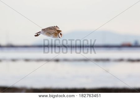 flying barn owl at Vancouver BC Canada 2017 Feb.