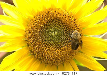 Bumble bee pollinating a sunflower (Helianthus Annuus)