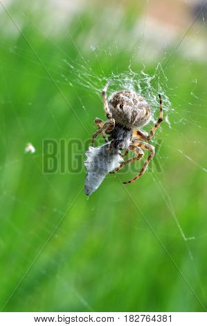 Spider eating prey in web. Spider eat a small insect