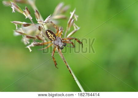 Wolf spider waiting for a prey in the grass, Spider in grass