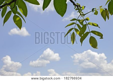 Branches of walnut (Juglans regia) with young spring leaves and sunny sky with clouds