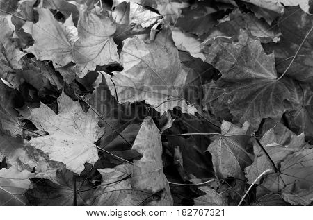 Black and white autumn dry maple leafs. Natural background.
