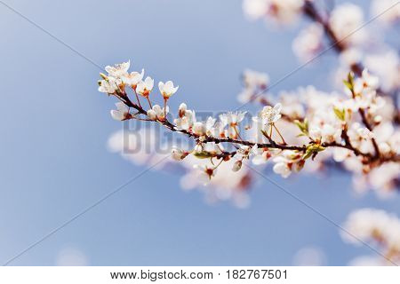 Flowers of the cherry blossoms on a spring day. Spring Cherry blossoms