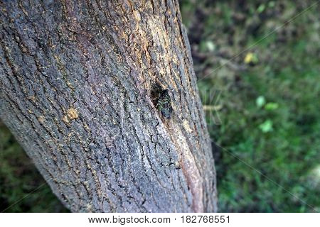 A cicada climbs on a tree in Joliet, Illinois during August.