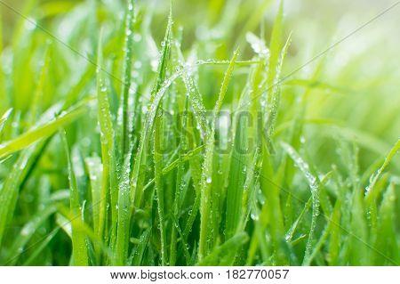 Sparckling rain drops on fresh green grass. Natural background.