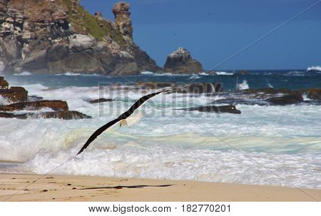Seagull swooping on Dias beach. The Cape of Good Hope, Cape Town, South Africa.