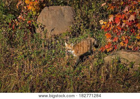 Red Fox (Vulpes vulpes) Walks Left in Fall Color - captive animal